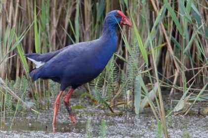 Western Purple Swamphen 4 (1)