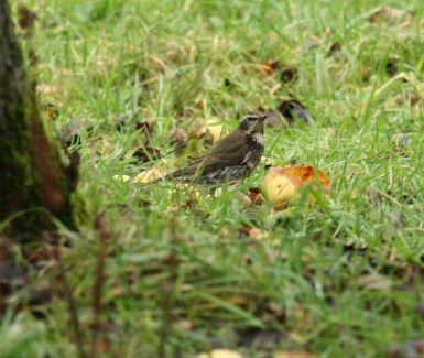 dusky-thrush-at-beeley-7