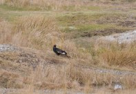 Black Grouse & Anglesey (5)