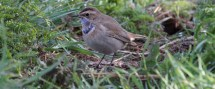 Bluethroat Day (17)