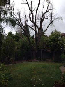 Willow Tree Removal 1