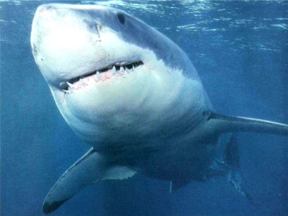Tubarão Branco