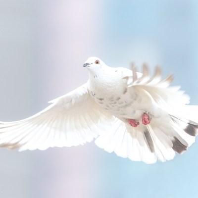 平和 ハト