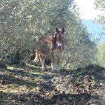 oliviers pic saint loup