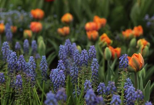 lalele-si-flori-albastre