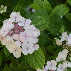 hortensia in bloei