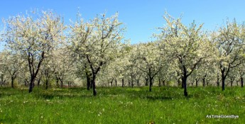 Cherry trees in bloom on Old Mission Peninsula