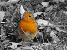 Summer, Autumn, Winter, Spring, the robin is always close, but hardly seen....until the spade comes out..that is ..:)