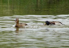 """'Seriously, will you just do one...."""" mmmm One seriously PISSED OFF Duck...."""