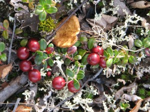 We pick blueberries, blackberries, salmon berries, rasberries, high- and low-bush cranberries. Photo by Angela Gonzalez
