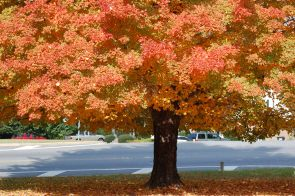 Harvest Moon® Sugar Maple Fall Foliage