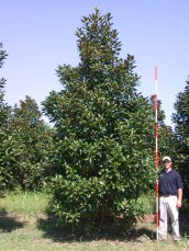 Greenback™ Magnolia Habit