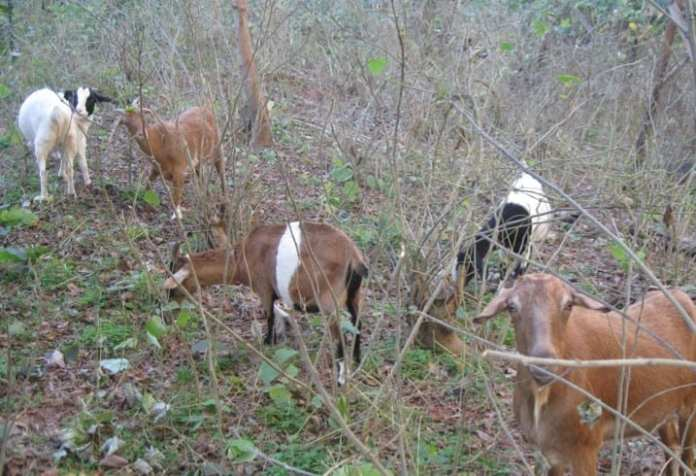 Restoration with Goats: Ruminating on the Reasons