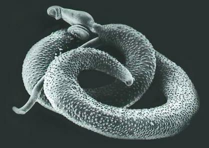 adult schistosomes