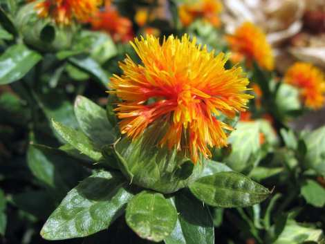 Safflower flower. Flickr Creative Commons image.