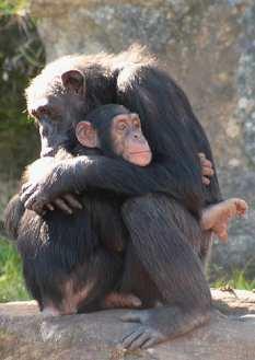mz_chimps