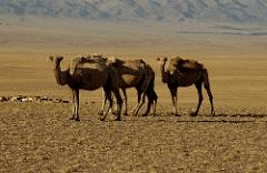 Dromedary Camels in Desert Flikr Image