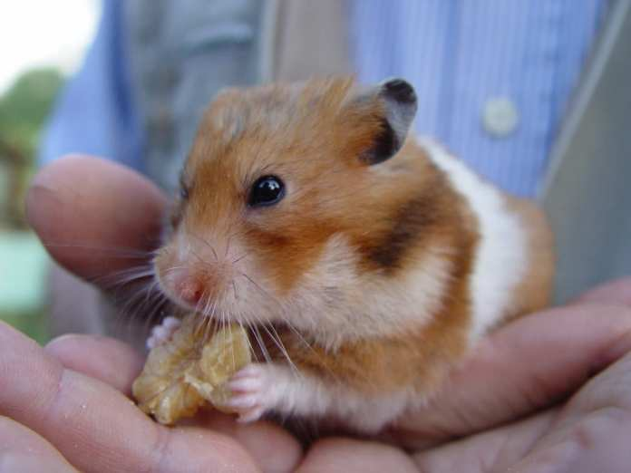 Fossilized Ebola is Hiding in Your Pet Hamster's DNA!