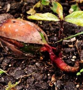 oaksprout