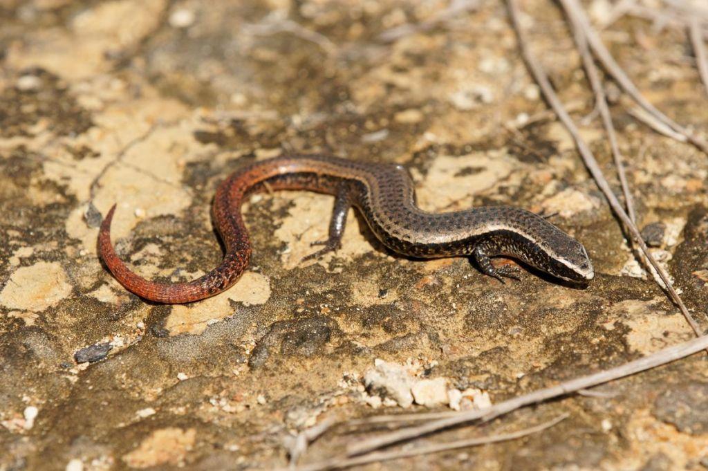 Gymnophtalmus speciosus
