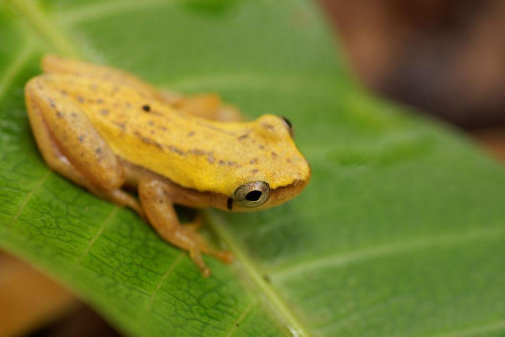 Dendropsophus walfordi