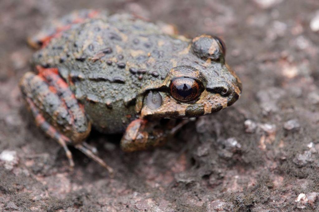 Leptodactylus myersi