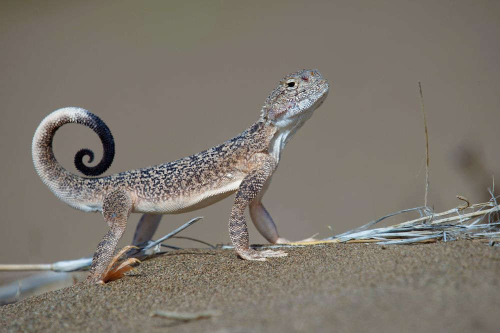 Phrynocephalus mystaceus