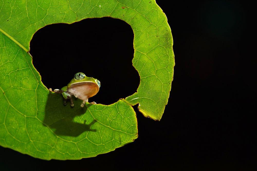 Leptopelis kivuensis