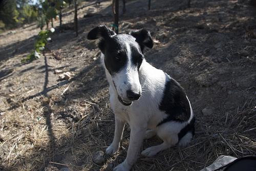 terrier-in-vineyard
