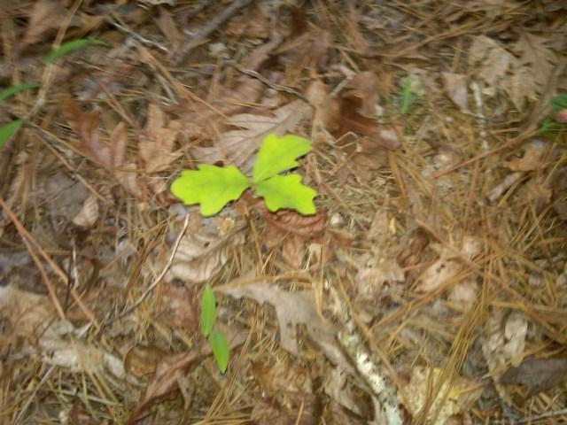 oak tree, young oak, acorn, FitOldDog's walk-run workout,