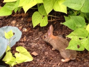 Learn to share to save the animals. Rabbit in FitOldDog's vegetable garden