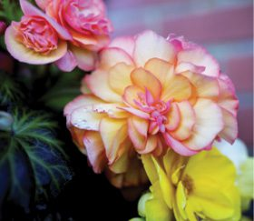 CSU Extension – Begonia love