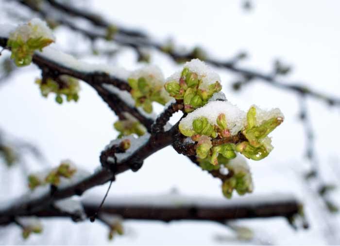 Sleet, Snow Not a Blast for Fruit Trees