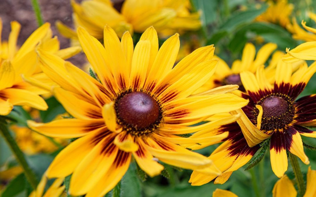On Gardening: Gloriosa daisies are summer stunners