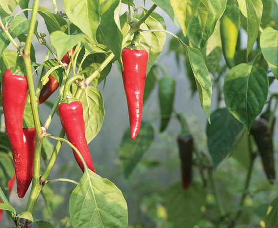 Home and Garden: Peppers have it made in the shade