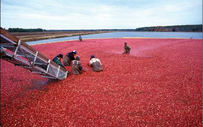 Rubies of the Pine (a.k.a. Cranberries)