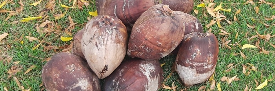 At Home in Puerto Rico - How to open coconut husks - brown coconuts