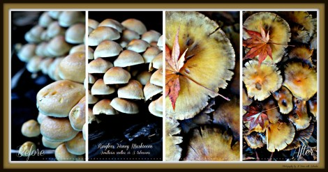 Ringless Honey Mushroom Collage1