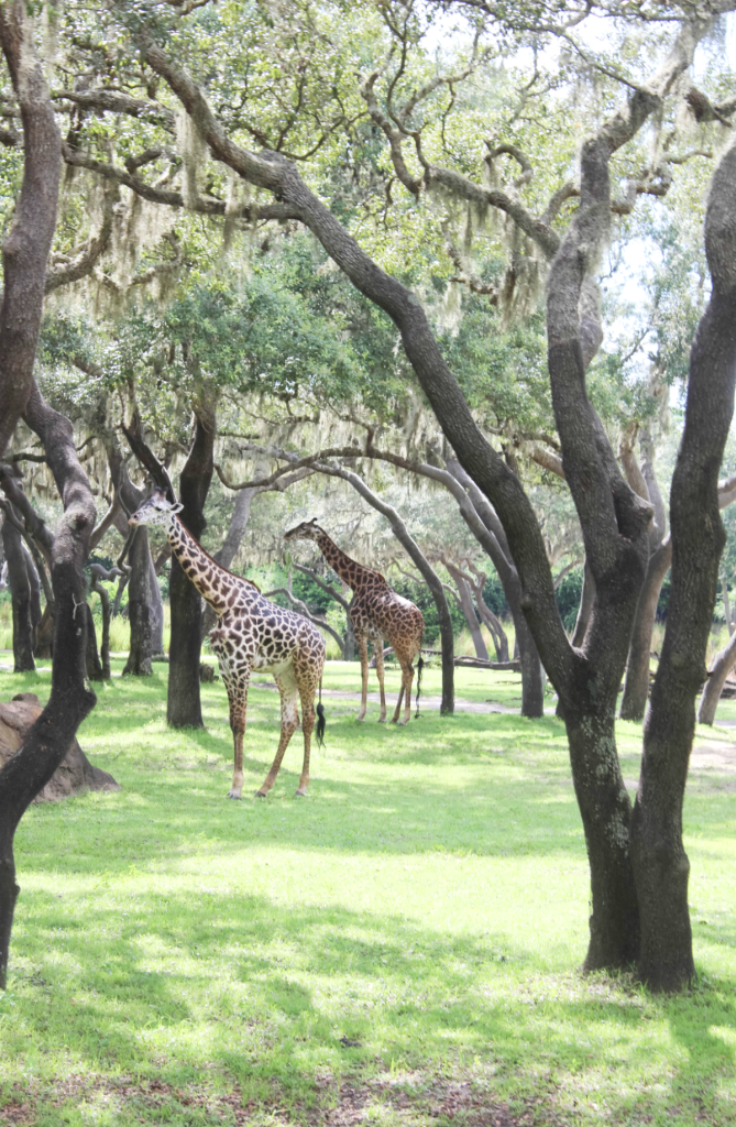 Orlando Vacation - Disney - Animal Kingdom - Zebras in the Field - At Home With Zan