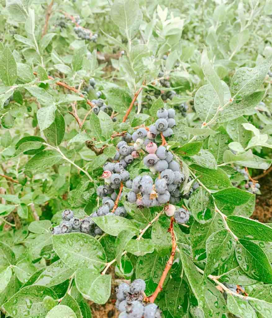 Blueberry Picking and a Blueberry Pie