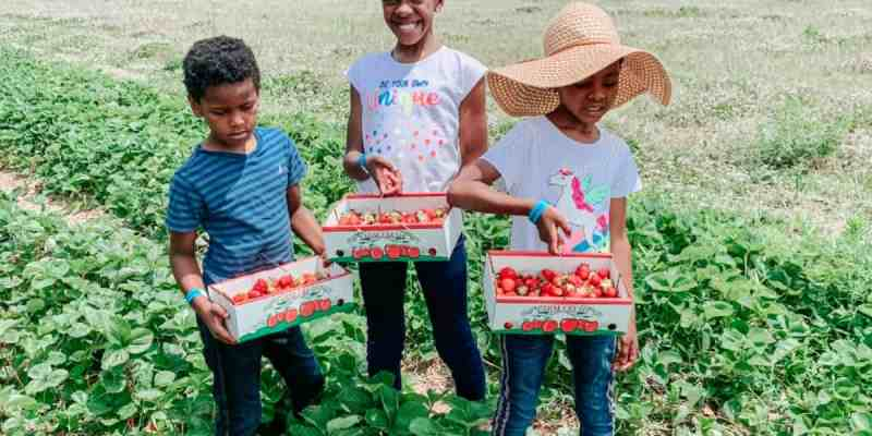 Strawberry Picking June 2020