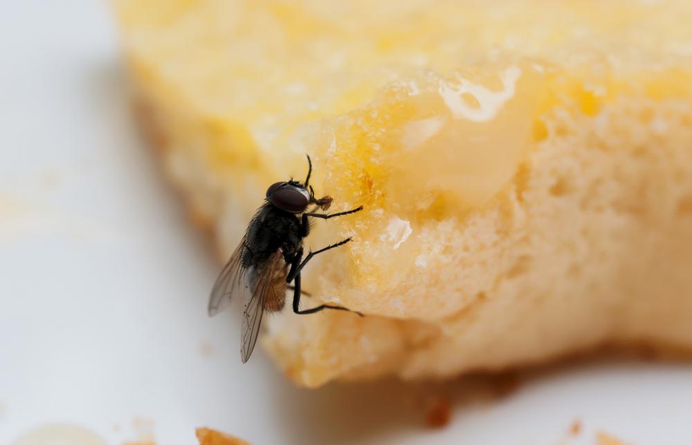 Las principales bacterias que transmiten las moscas son las del grupo de bacterias cuyo habitad es el intestino de los seres humanos