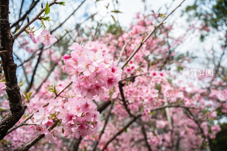  新竹景點 新竹公園,850棵櫻花盛開中,公園還有沙坑、遊樂設施可以玩,野餐踏青賞櫻的好去處