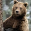 Ursul monitorizat prin satelit de catre WWF in Maramures a fost ucis de braconieri