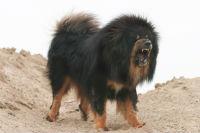 Un câine din rasa mastiff tibetan a fost vândut cu aproape 1,4 milioane de euro