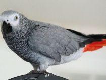 Un papagal din SUA disparut de 4 ani s-a intors acasa vorbind limba spaniola