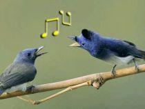 Pasarile isi pot schimba comportamentul in timpul imperecherii, in functie de cantecele ascultate