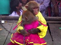 Evolutia primatelor: casatoria dintre doua maimute a fost oficiata in India