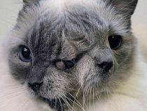 Cea mai longeviva pisica cu doua fete din lume a murit la varsta de 15 ani