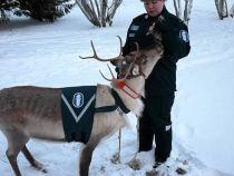 Politistii rusi prefera sa foloseasca reni in loc de snowmobile, pentru urmarirea infractorilor
